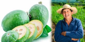 Feijoa la fruta que le cambió la vida a los campesinos de Boyacá