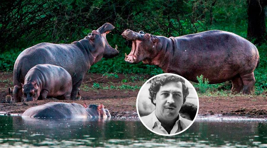 Traslado de Hipopotamos de Pablo Escobar