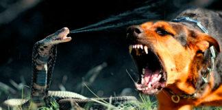 Cobra Escupidora se enfrenta a dos perros en una batalla a MUERTE