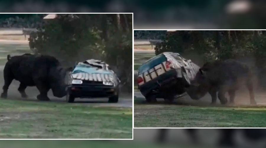 [ATERRADOR VÍDEO]: Rinoceronte destrozó un vehículo con un hombre en su interior