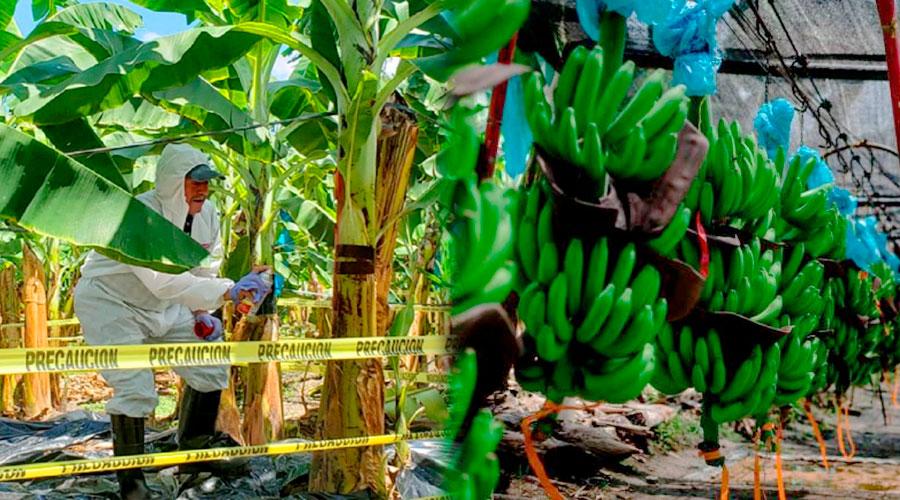 EMERGENCIA NACIONAL por presencia de hongo que ataca cultivos de banano y plátano