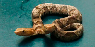 Hallan en Indonesia a extraña serpiente de dos cabezas