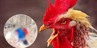 Gallo mató a picotazos a una viejita