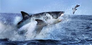 El violento ataque de un tiburón blanco a un lobo marino visto desde un dron