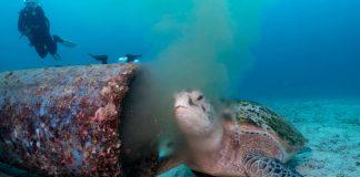 TORTUGA marina se alimenta de AGUAS RESIDUALES