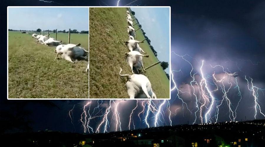 VÍDEO: Una tormenta eléctrica mata a 23 vacas en EE.UU.