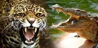 Un leopardo y un cocodrilo chocan 'a cara de perro' por una presa