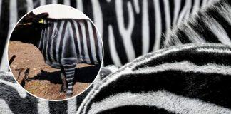Pintar vacas como cebras tiene un beneficio sorprendente