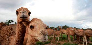 10.000 camellos salvajes en Australia serán SACRIFICADOS por la sequía para SALVAR otras especies