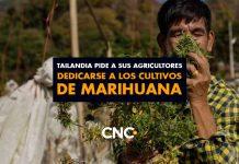 Tailandia pide a sus agricultores dedicarse a los cultivos de MARIHUANA